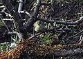 Hume's Warbler I IMG 7271.jpg