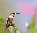 Hummingbird (7819214826).jpg