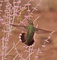 Hummingbird consults praying mantis (7810515186).jpg