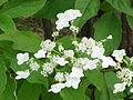 Hydrangea arborescens0.jpg