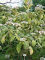 Hydrangea aspera sargentiana HabitusLeavesInflorescences BotGardBln0806a.JPG