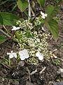 Hydrangea heteromalla Snowcap (18869794485).jpg