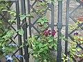 Hydrangea orto botanico milano 06.JPG