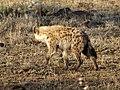 Hyena (36572619561).jpg