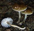 Hygrocybe irrigata 89483.jpg