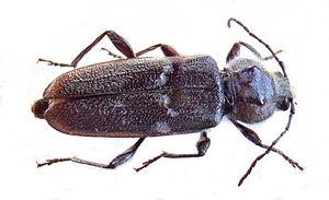 Hausbock (Hylotrupes bajulus), Weibchen