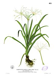 Hymenocallis littoralis Blanco2.411
