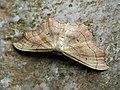 Idaea emarginata - Small scallop - Малая пяденица выемчатая (39163971690).jpg