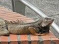 Iguana de monteria - panoramio.jpg
