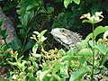 Iguana iguana ( Iguanidae ).jpg