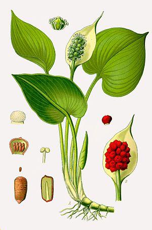 Calla - Flora von Deutschland, Österreich und der Schweiz 1885