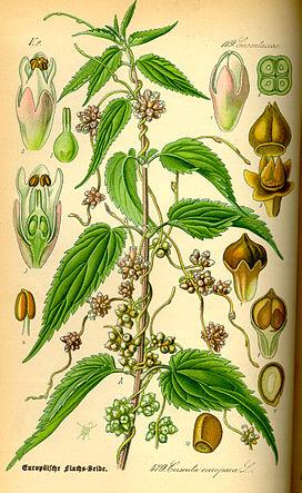 Illustration Cuscuta europaea0.jpg