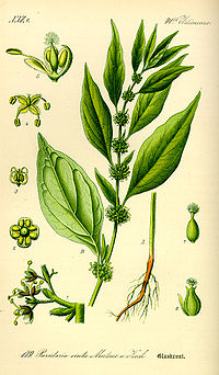 Illustration Parietaria officinalis0.jpg