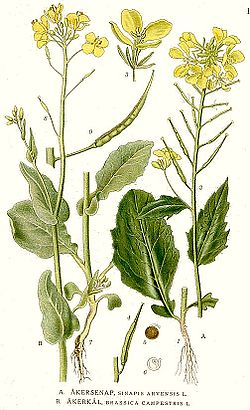 Illustration sinapis arvensis.jpg