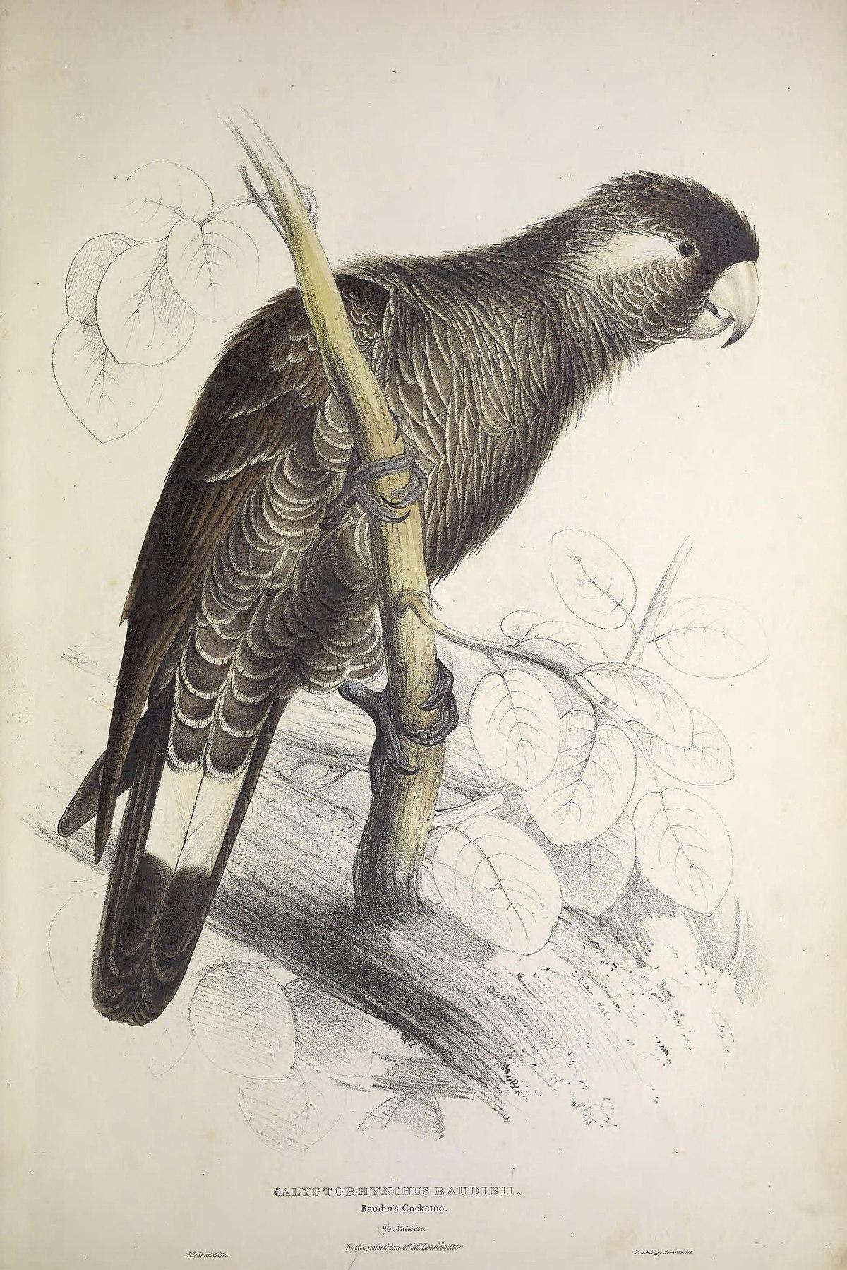 Baudin's black cockatoo - Wikipedia