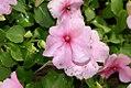 Impatiens Super Elfin Pink 0zz.jpg