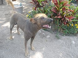 Inca Hairless Dog.JPG
