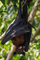 Indian Flying Fox (Pteropus giganteus) Kolkata West Bengal India 27042013.png