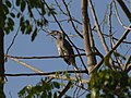 Indian Grey Hornbill DS.jpg