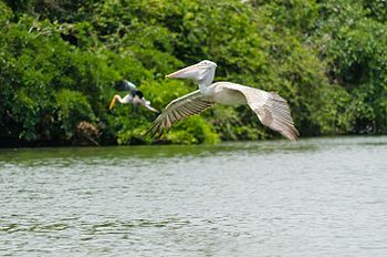 Indian Grey Pelican on the move.jpg