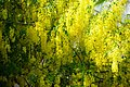 Indian Laburnum - panoramio.jpg