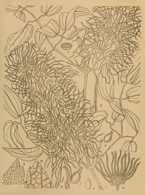 Indian Medicinal Plants - Plate 3A - Clematis gouriana.png
