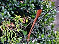 Indian Paradise Flycatcher in Colombo Sri Lanka.jpg