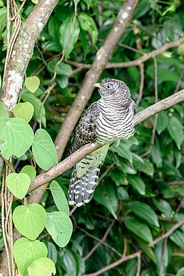 Indian cuckoo (Cuculus micropterus) 46.jpg