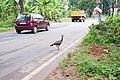 Indian peafowl 03600.JPG