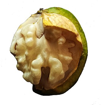 Walnut - Inside of a walnut in growth