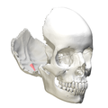 Internal occipital crest3.png