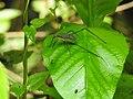 Invertebrate Tettigoniidae (Katydid) 03.jpg