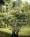 Ionopsis utricularioides - in citrus tree 2.jpg