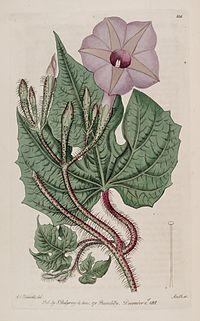 Ipomoea setosa Bot. Reg. 4. 335. 1818