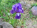 Iris aphylla ssp. hungarica 2016-05-09 0020.jpg