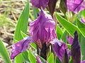 Iris germanica0.jpg