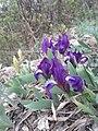 Iris pumila sl6.jpg