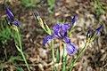 Iris sibirica (33975703868).jpg