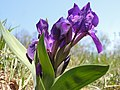 Iris sp. (17163152530).jpg