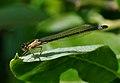 Ischnura elegans qtl7.jpg