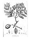 Jacaranda acutifolia.jpg