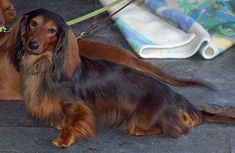 Dachshund - A standard long-haired dachshund