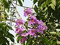 Jarul flowers Lagerstroemia speciosa DSCN8774 (6).jpg