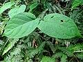 Jasminanthes mucronata 蛇瓣花 1 (天問).jpg