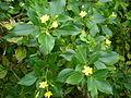 Jasminum odoratissimum 1c.JPG