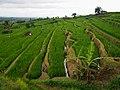 Jatiluwih Rice Terraces - 2015.02 - panoramio (1).jpg