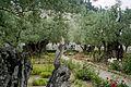 Jerozolima ogrod oliwny 2000 v02.jpg