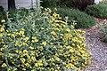 Jerusalem sage Phlomis fruticosa IMG 8766.jpg
