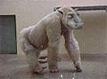 Jeune simia bubula.jpg