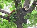 Jielbeaumadier panda roux madrid 2014.jpeg
